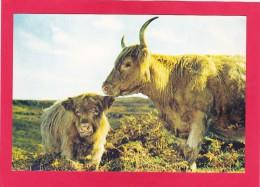 Postcard Of Cow, Highland Cow And Calf, Scotland, B3. - Cows