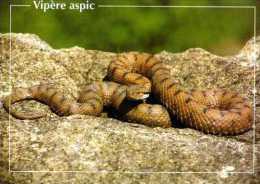 Vipere Aspic,  Pierron 1996 - Animales