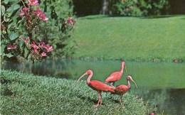 Postcard - Scarlet Ibis & Bauhinia Orchid Tree At Sarasota Jungle Gardens. FNC5288 - Birds