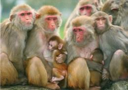 Postcard - Rhesus Monkeys At Longleat. A - Monkeys