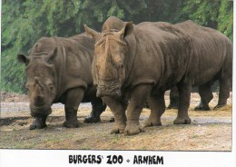 Postcard - Rhinoceros At Burgers' Zoo. BZ704 - Rhinoceros