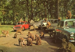 Postcard - Monkeys & Zebra At Woburn Wild Animal Kingdom. CKWOB124 - Monkeys