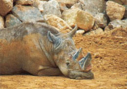 Postcard - White Rhinoceros At Colchester Zoo. B - Rhinoceros