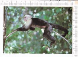 COSTA RICA  -    MONO  CARA BLANCA     -  CEBUS  CAPUCINUS - SINGE - Costa Rica