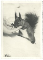 1940, Aroser Hansi. Scoiattolo. - Animali