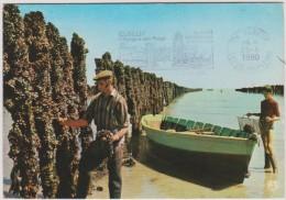 Métier : L Ostréiculture - Mytiliculture  , Posté  A  Chatelaillon  1980 Et Elbeuf ! - Métiers