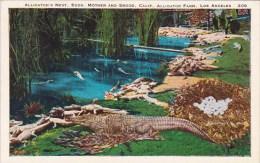 Alligators Nest Eggs Mother And Brood California Alligator Farm Los Angeles California