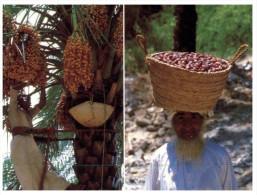 (7777 ORL) Oman - Dates Harvest - Oman