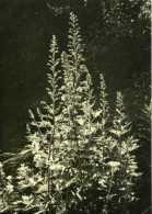 Rittersporn (digitales) Par Lilly Braunschweiger - Giftige Pflanzen
