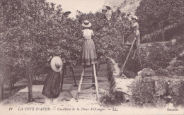 CUEILLETTE DE LA FLEUR D'ORANGER (dil131) - Plantes Médicinales