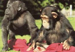 Postcard - Gorilla & Chimpanzee At Bristol Zoo. L6/SP.7301 - Monkeys