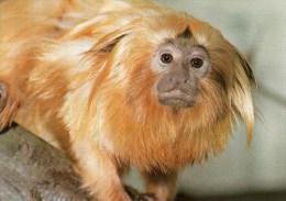 Postcard - Golden Lion Tamarin At Jersey Wildlife Preservation Trust. A - Monkeys