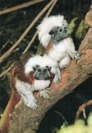 Postcard - Cotton-Top Marmosets At Royal Melbourne Zoological Gardens. CS1521 - Monkeys