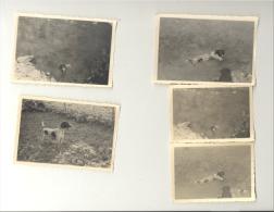 """Lot De 5 Photos ( +/- 7 X 10 Et 6 X 9 Cm) D'un Chien """" Braque Allemand"""" En 1949 (b160) - Photos"""