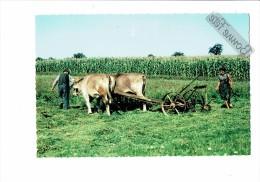 81 - REVEL - Tarn - Fenaison Ferme - Attelage Vaches Agriculteurs Matériel Agricole - Maïs - 1974 - France