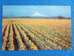 Daffodil, Tulip And Gladioli Farms Are Numerous In Western Oregon And Hothouses With Thousands Of Feet Under Glass..... - Non Classés