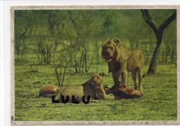 Scene D Un Repas D Un Lion Et Sa Lionne - Lions