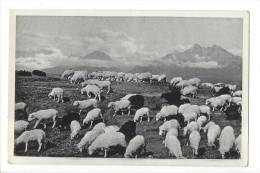 11430-  Vyské Tatry Troupeau De Moutons - Slovaquie