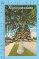 Plante , Plant ( Florida Cocoanut Palm Loaded With Fruit Cover : Saint Augustine FLA 1961 ) Recto/Verso - Fleurs, Plantes & Arbres
