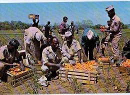 AK GUINEA ERNTE KARTOFFEL ALTE POSTKARTE - Guinée
