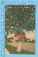 US-Florida ( A Tree Loaded With Cocoanuts In Florida ,  CPSM    Linen Postcard ) Recto/Verso - Fleurs, Plantes & Arbres