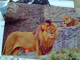 LEONE LIONS AT ZOO  N1990 EQ13268 - Lions