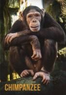 Postcard - Chimpanzee At Colchester Zoo. A - Monkeys