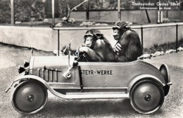 Postcard - Chimpanzees At Garten Basel Zoo. K7056 - Monkeys