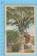 USFlorida FL ( A Tree Loaded With Cocoanuts At Miami, CPSM Linen Postcard ) Recto/Verso - Fleurs, Plantes & Arbres