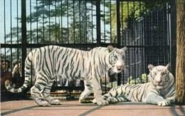 Postcard - White Tigers At Bristol Zoo. A - Tigers