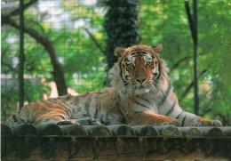 Postcard - Siberian Tiger At Palmyre Zoo. 93 - Tigers