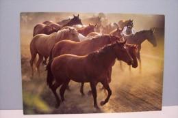 PUR-SANG  HONGROIS  ( N°5331 ) - Pferde
