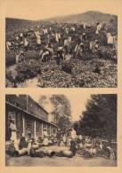 Reclame    Pure Ceylon Tea Brand Het Plukken Van De Thee   Greinstraat 42 Antwerpen          Nr 432 - Publicité
