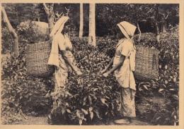 Reclame    Pure Ceylon Tea Brand  Plukken Van De Thee     Greinstraat 42 Antwerpen          Nr 434 - Publicité