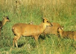 Postcard - Muntjac Deer At Otter Trust. L6/SP.5850 - Animals
