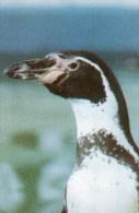 Postcard - Humboldt Penguin At Drusillas Zoo Park. A - Birds