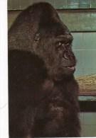 Postcard - Gorilla (Guy) At London Zoo. PT7812 - Monkeys