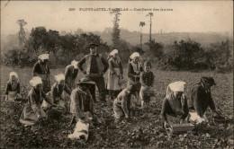 29 - PLOUGASTEL-DAOULAS - Cueillette Des Fraises - Plougastel-Daoulas