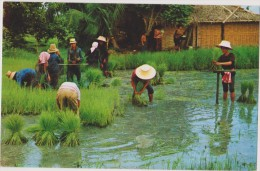 ASIE,THAILANDE,THAILAND,m étier,cultivation  Of  Rice,making The Tender Rice Plants Into Sheaves For Replanting,riz,ra - Thailand