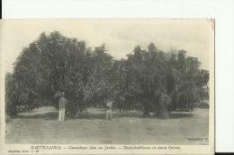 CAR16   --   HAUTE - SANGA    --  CAOUTCHOUCS DANS UN JARDIN - Centraal-Afrikaanse Republiek