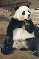 Postcard - Giant Panda (Chi-Chi) At London Zoo. ZOO1302 - Bears