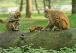 Postcard - Monkeys At Woburn Wild Animal Kingdom. CKWOB145 - Monkeys