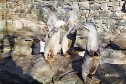 Postcard - Otters At Riber Castle Fauna Reserve & Wildlife Park. SP978 - Tierwelt & Fauna