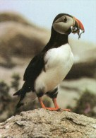 Postcard - Puffin On The Isles Of Scilly. A - Birds