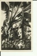 GV173   --   GUADELOUPE    --   BANANIER EN FLEURS - Guadeloupe