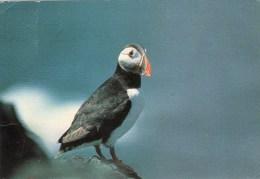 Postcard - Puffin On North Bishop Island. 28 - Birds