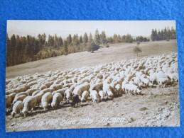 Sheep In The Blue Mts. Oregon - Non Classés