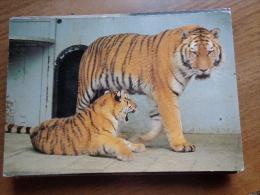 Artis Zoo Amsterdam, Syberische Tijgers   ---> Beschreven - Tigres