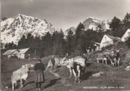 NOVARA -  MACUGNAGA - ALPE BURKI - Novara