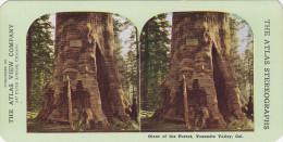 SV: Giant [tree] Of The Forest , Yosemite Valley , California, 1890s - Yosemite